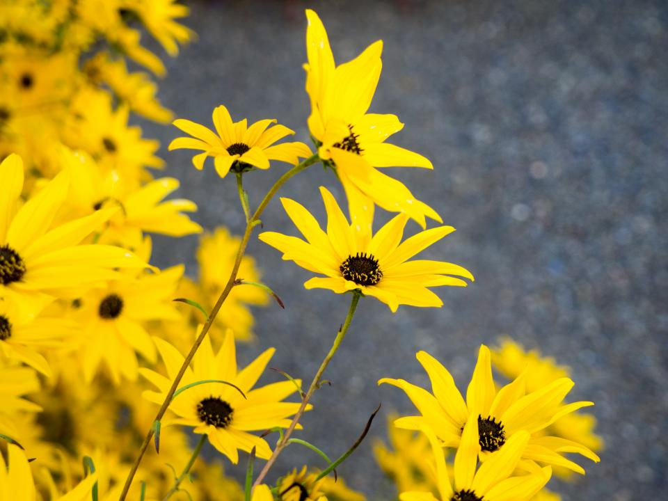 yellow petals flowers nature outdoors summer spring garden environment blur