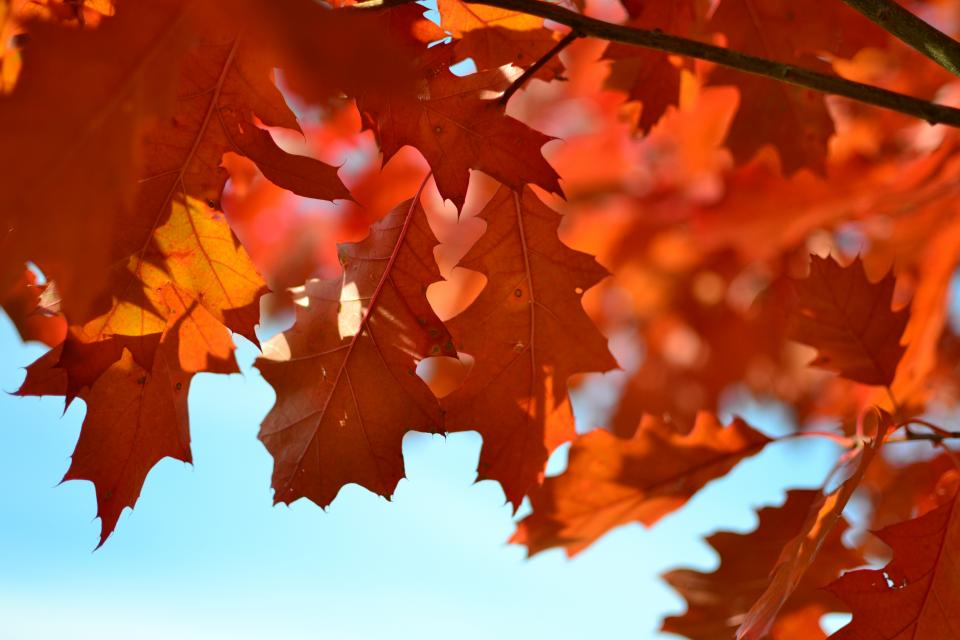 nature leaves maple stems veins bold red colors fall autumn sky blue