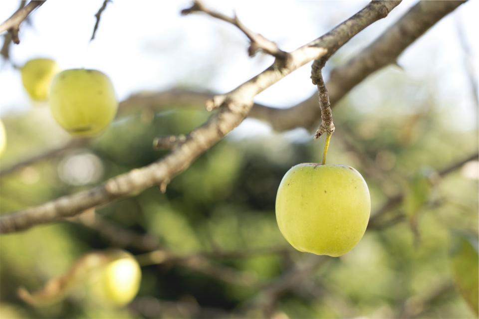 apples fruits food trees branches