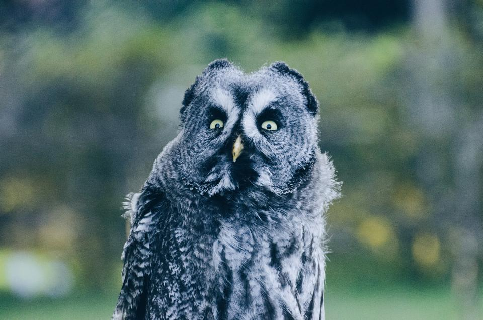animal wildlife owl bird plants outdoor nature bokeh blur eyes feather black white
