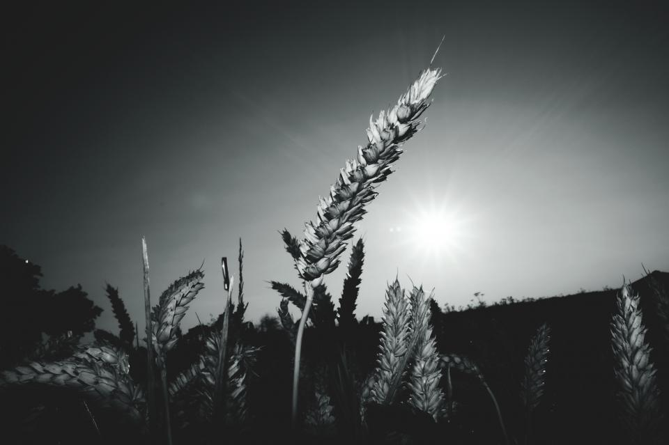 plant leaves field grass sunlight monochrome black and white