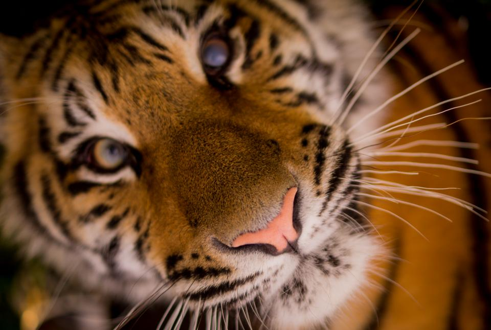 tiger animal whiskers nose eyes