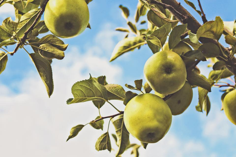 green apples trees leaves sky sunshine summer clouds fruits healthy nature