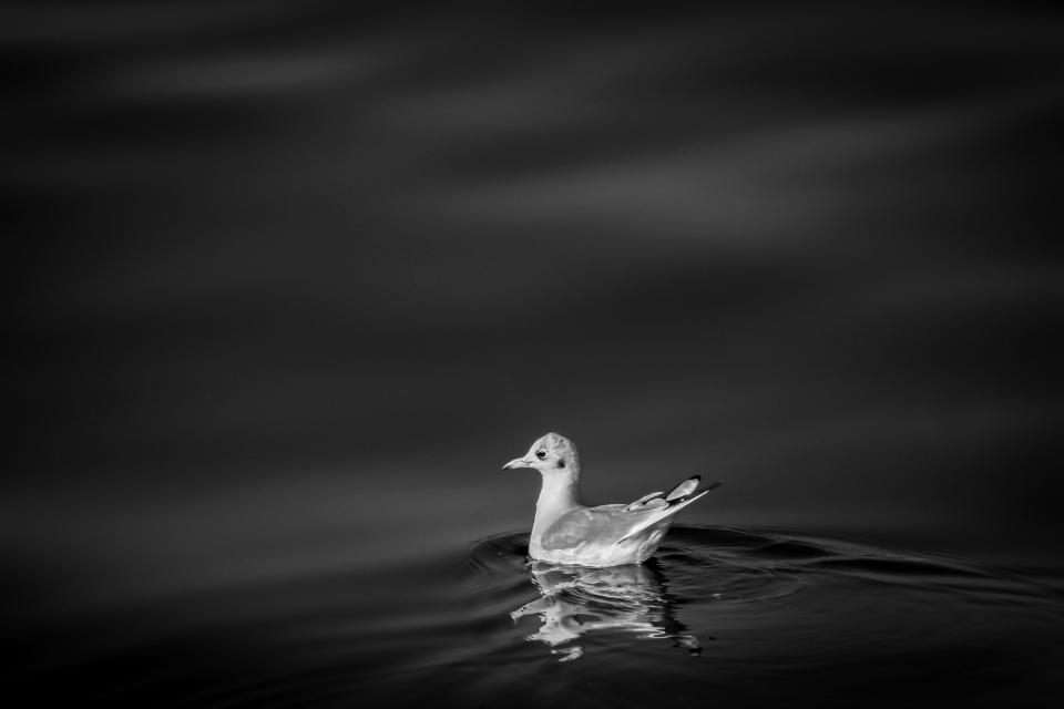 bird beak feather animal swim dark black and white monochrome lake river duck