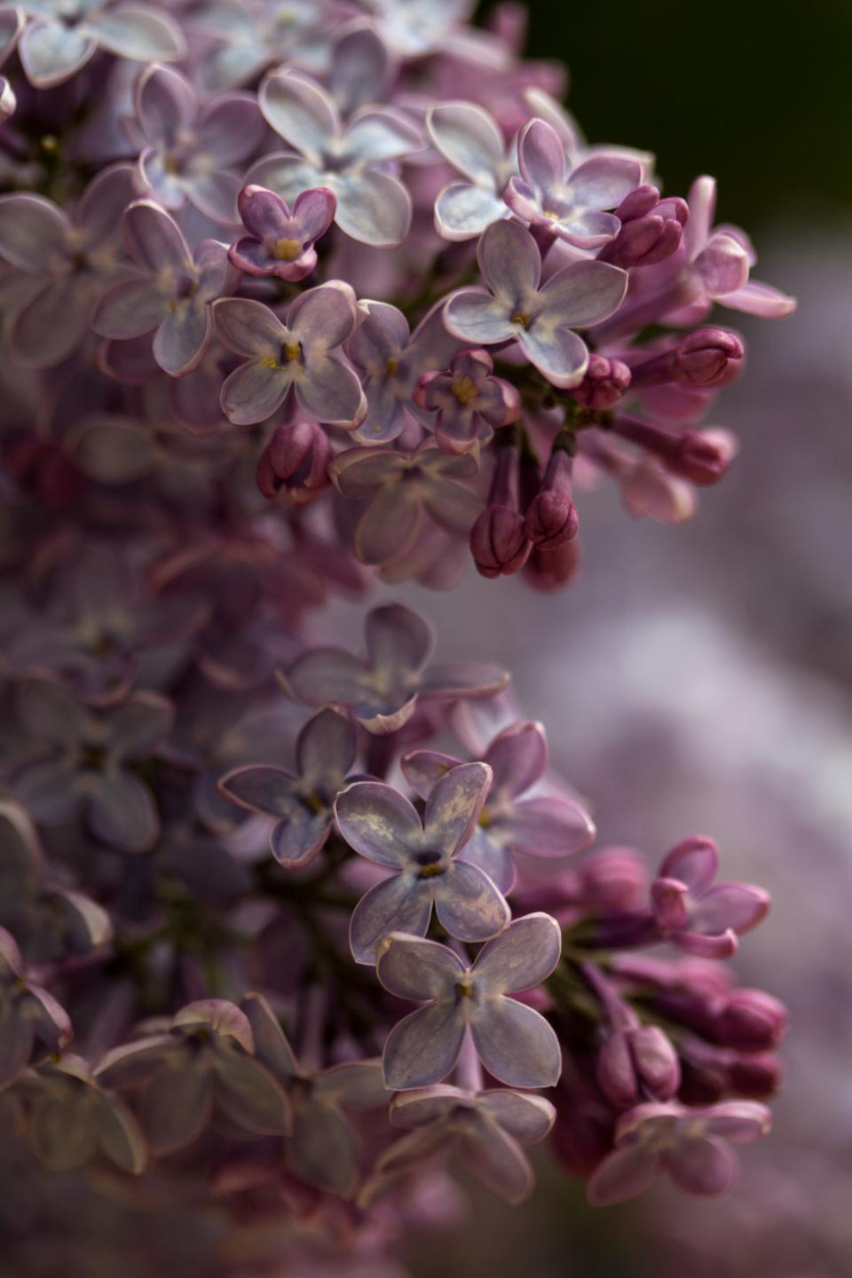 flowers lilac nature wild spring summer