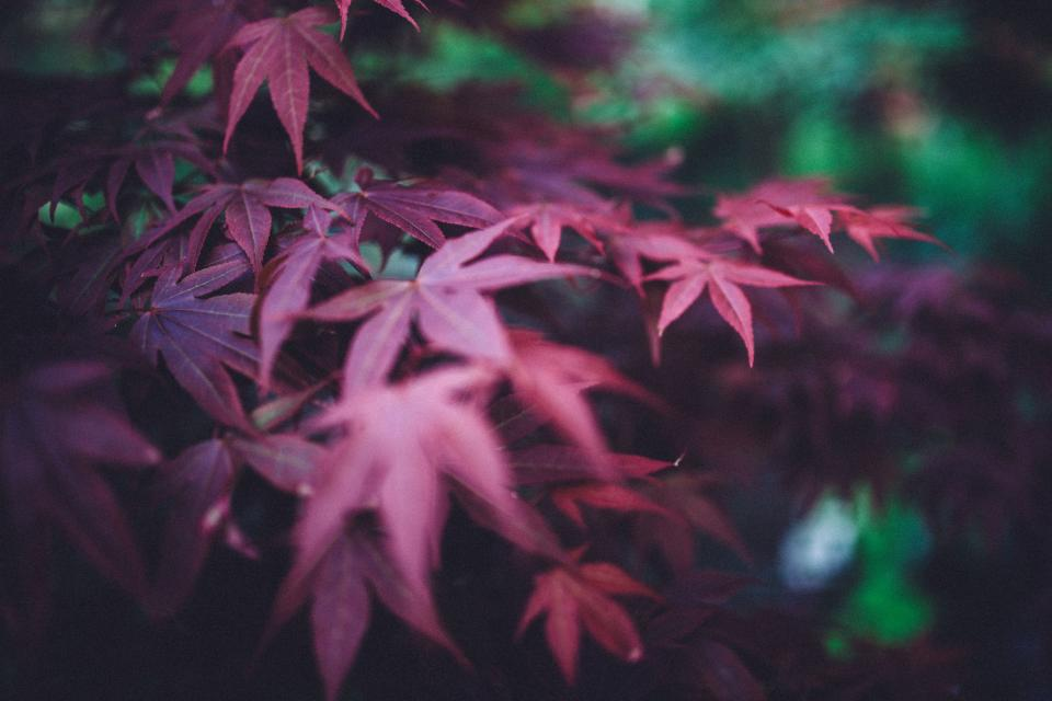 red purple leaves nature plants forest