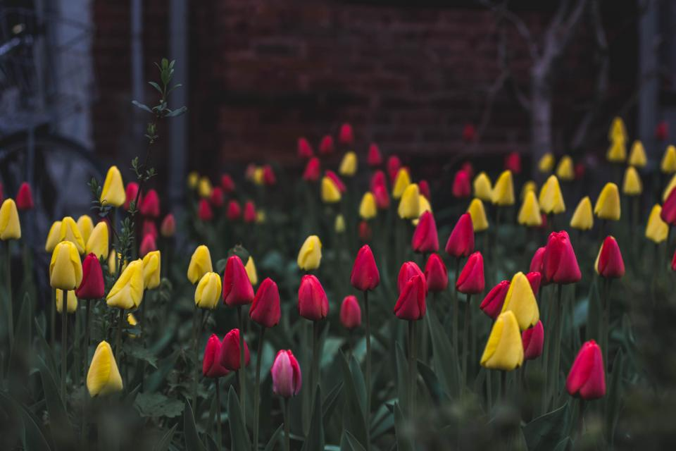 colorful yellow red pink flowers plant nature outdoor garden green leaf tulips