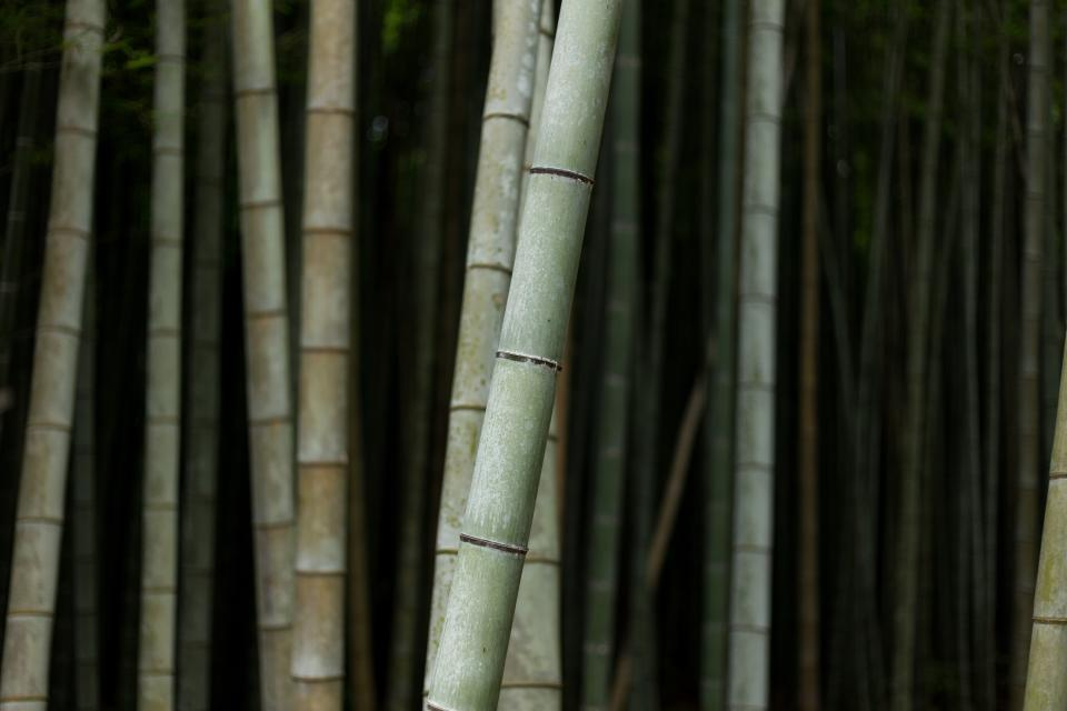 bamboo tree nature plant