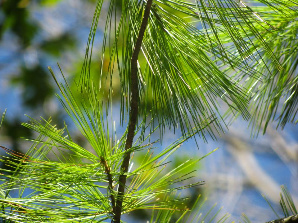 green tree pines needles