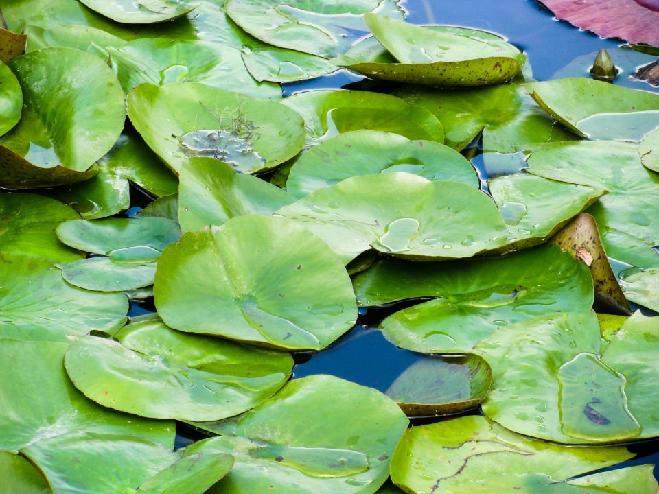 lilly pad plants water