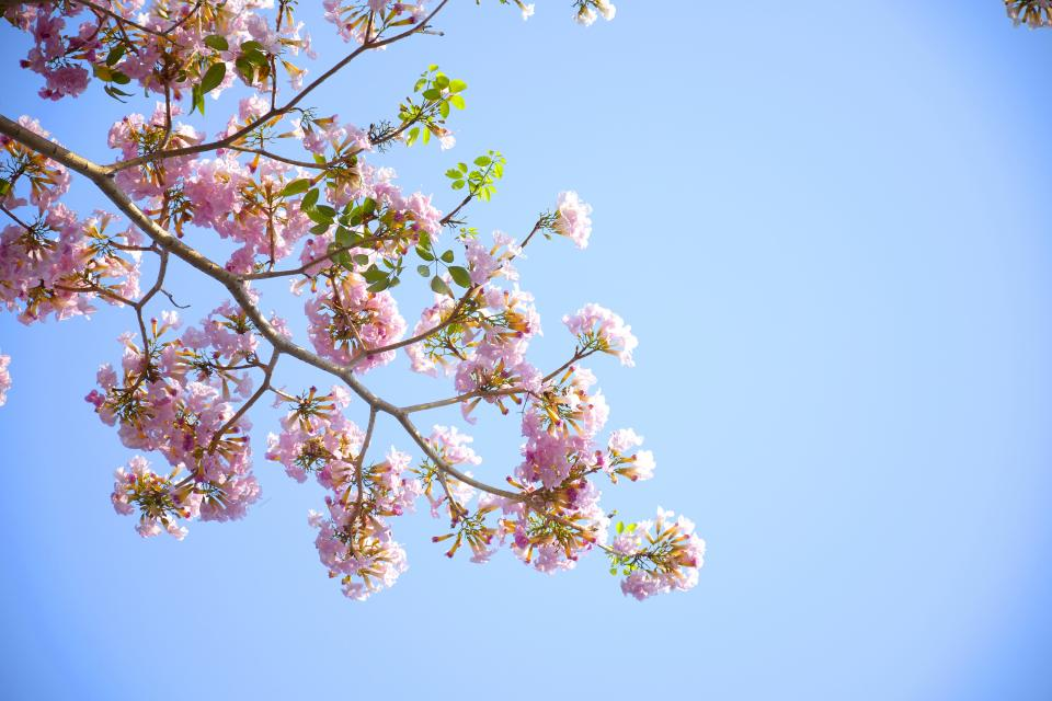 flowers nature pink blossoms spring summer branches leaves petals outdoors trees clear blue sky