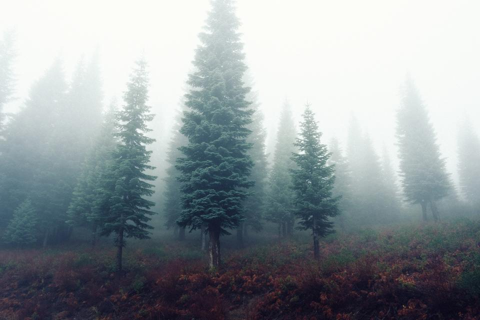 forest trees fog mist grey grass nature