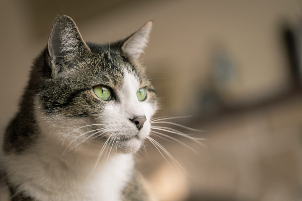 house cat eyes animal fur whiskers portrait feline furry soft ears mouth nose domestic kitty pet companion
