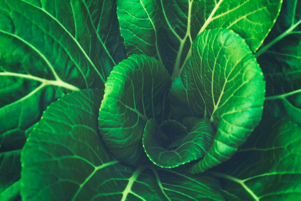 green leaf vegetable cabbage