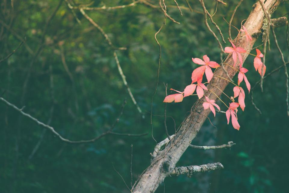 pink leaves vine plant trees nature forest branch wood