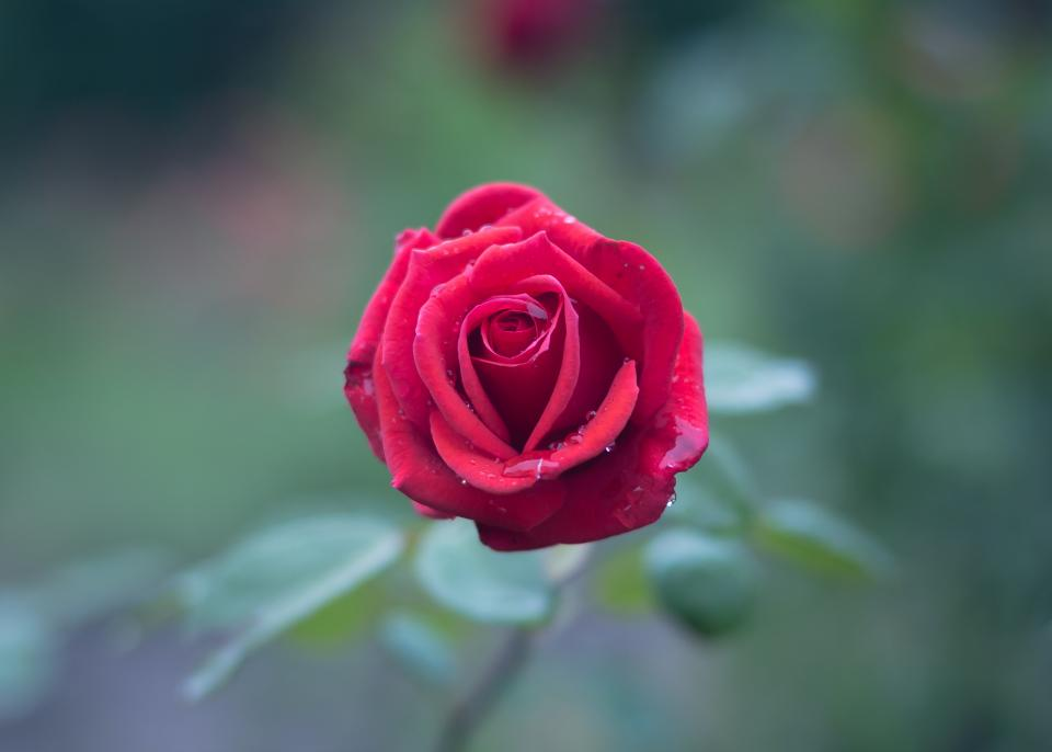 red rose petal flower bloom plant nature blur wet water raindrops