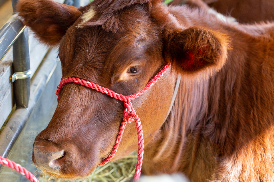 cow cattle close animal farm agriculture head looking livestock brown domestic