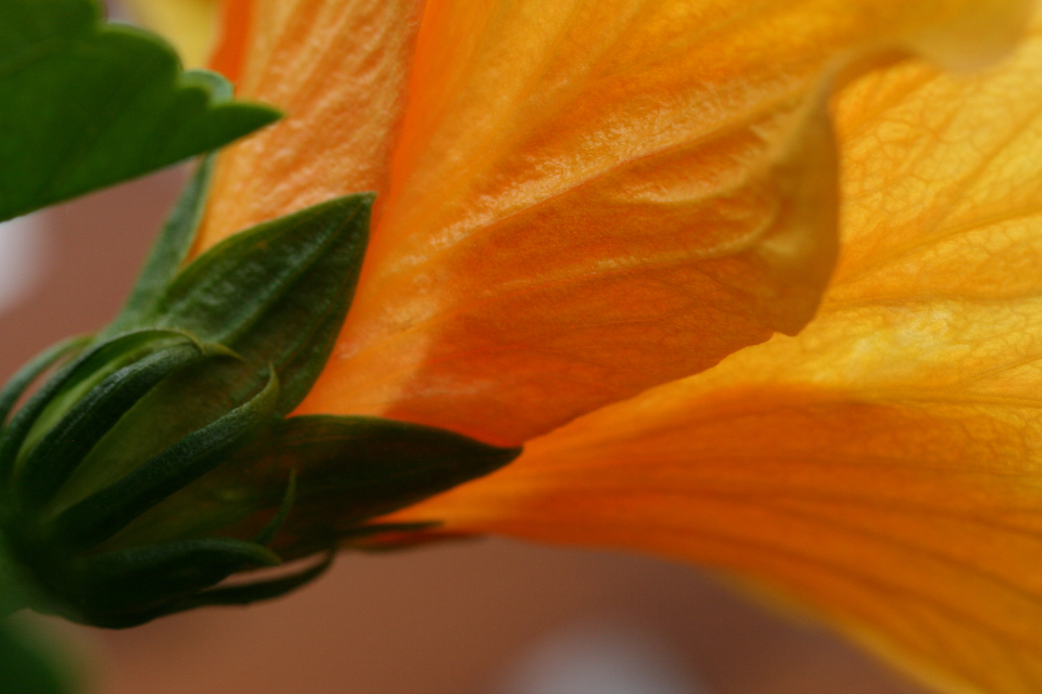 flower macro petals close up colorful blossom background fresh botany plant nature floral summer hibiscus