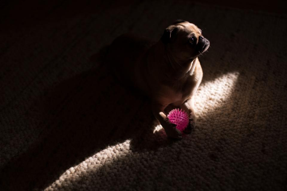 dark room pug dog animal pet ball play carpet light
