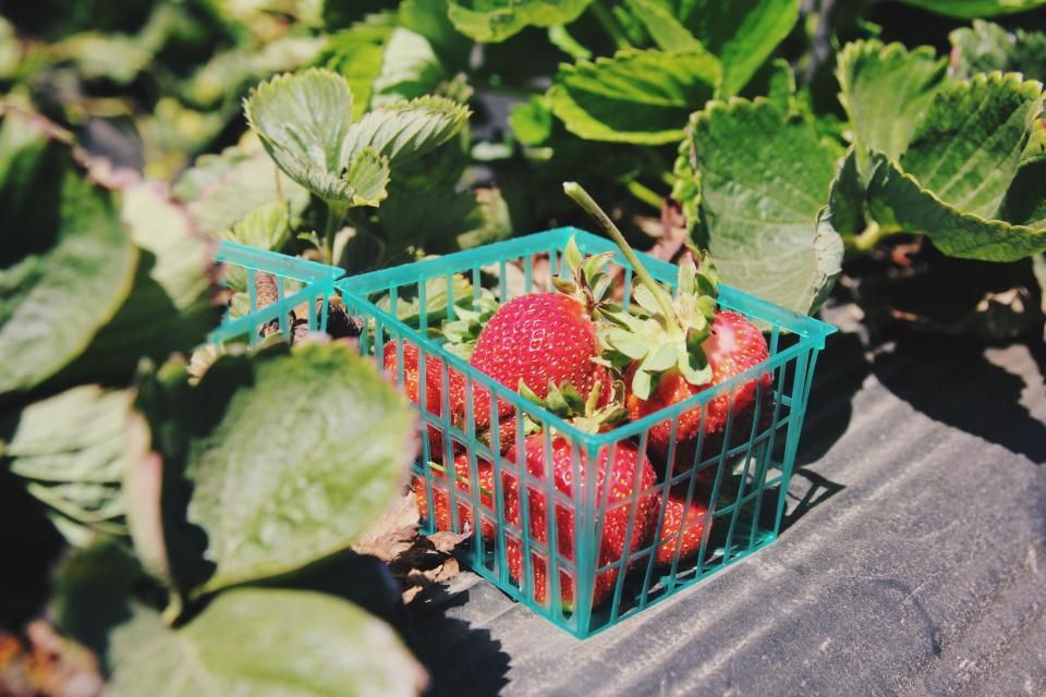 green leaves plant fruit garden farm field fresh strawberry harvest basket sunny