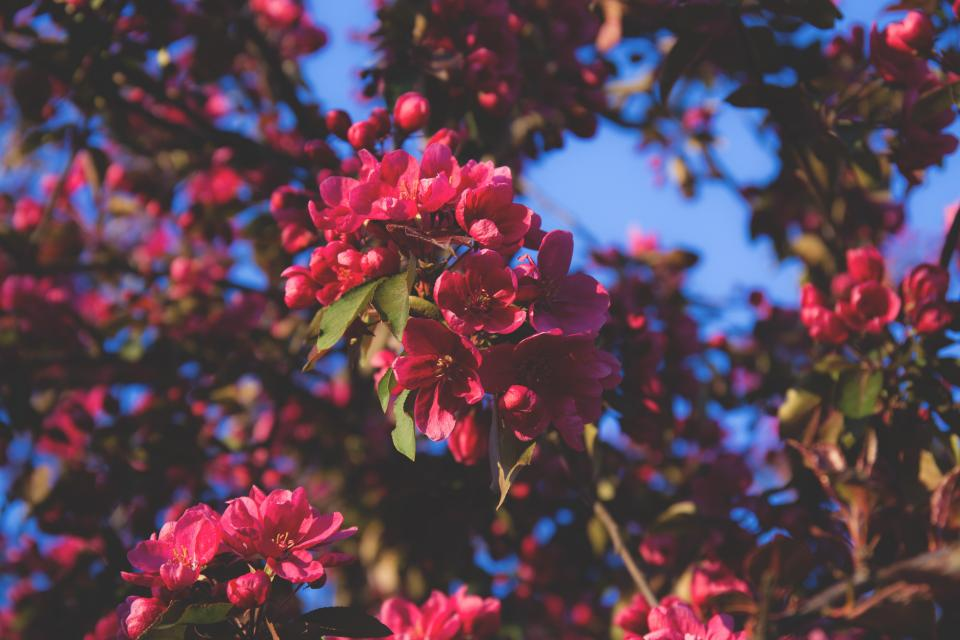 flowers nature blossoms branches leaves clusters pink petals trees macro outdoors sky still bokeh