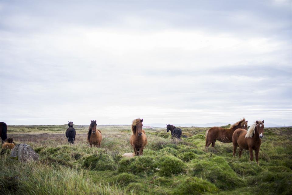 horses animals mane hair grass fields green sky rural