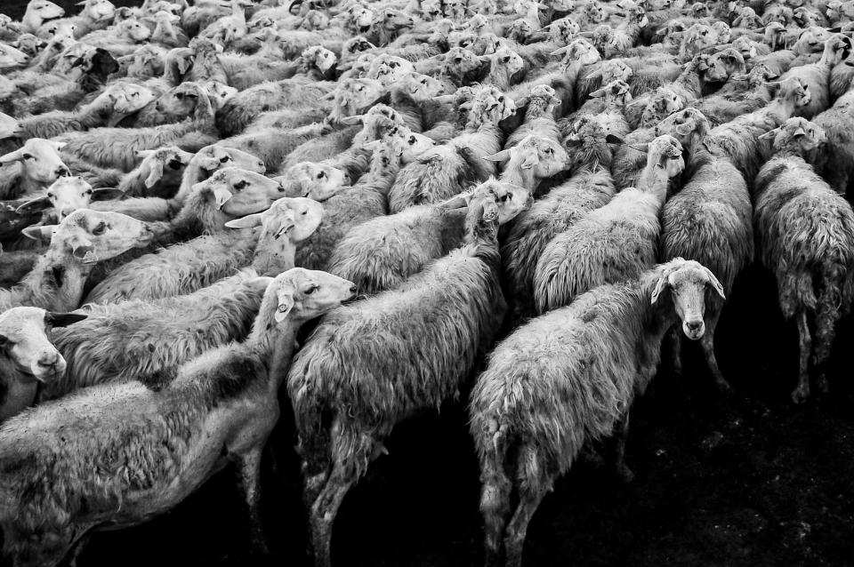 animals sheep flock pile group black white