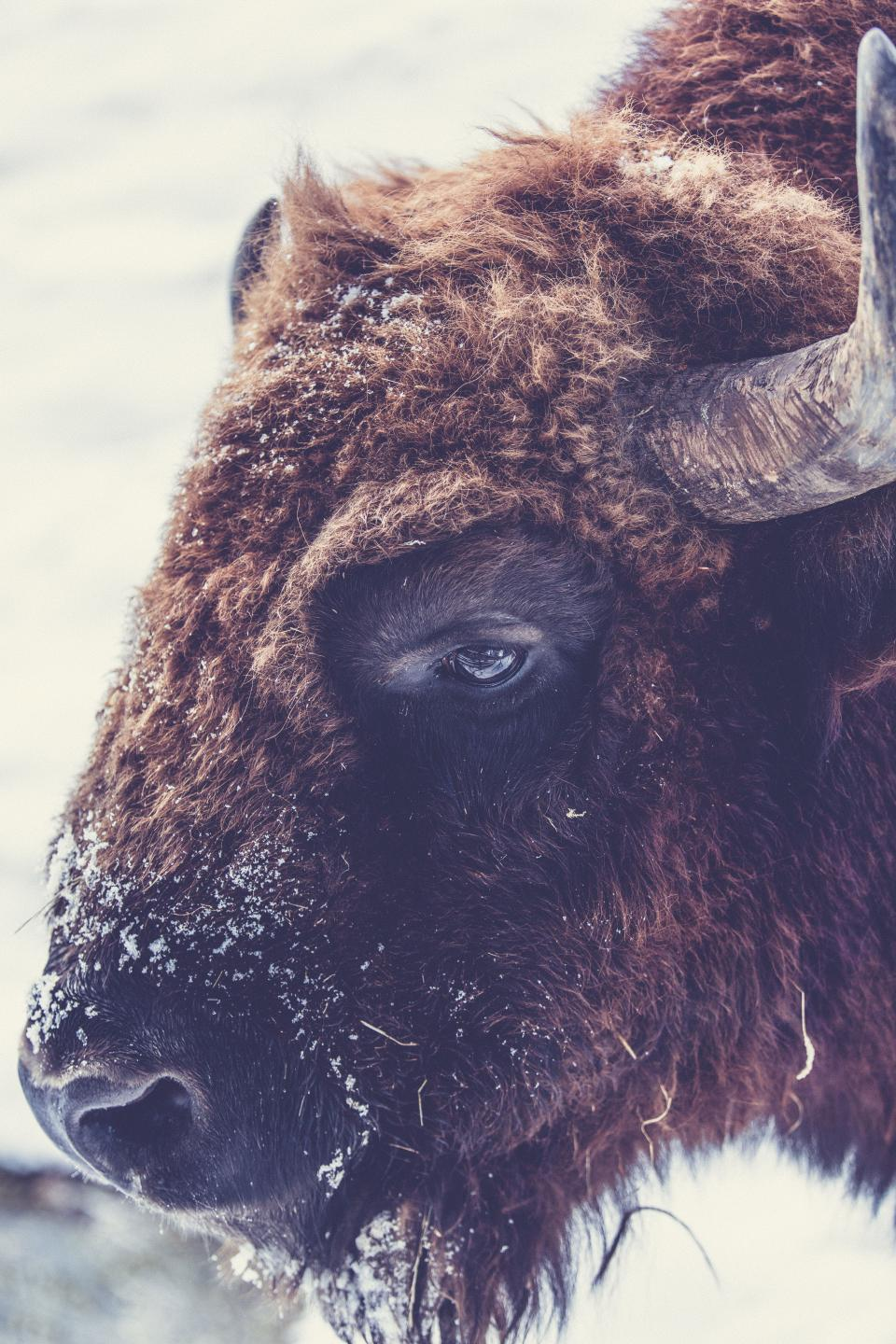 ram animal wildlife snow winter cold weather wool horns brown