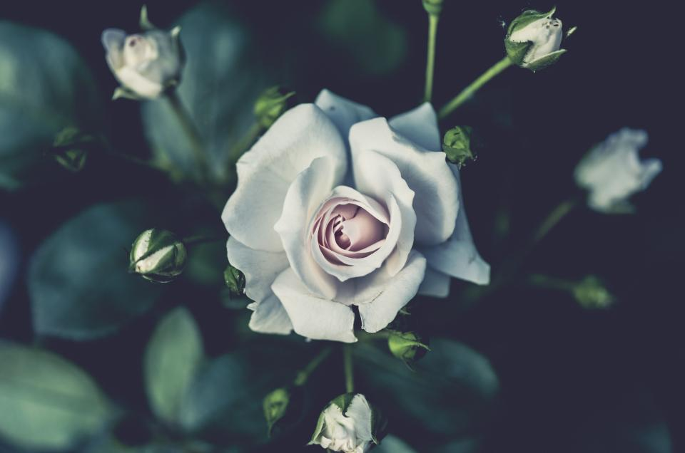 white rose flower plant nature blur