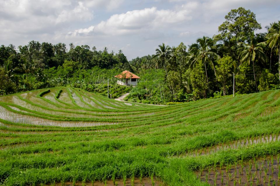paddy field rice green trees tropical agriculture nature rural
