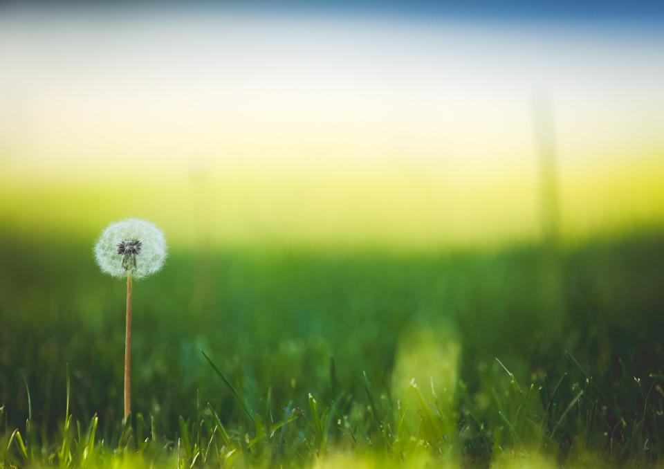 dandelion flower green grass yard lawn nature outdoors