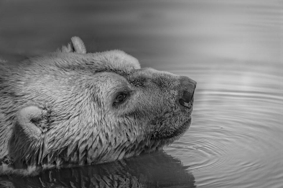 bear wildlife animal water river lake black and white monochrome