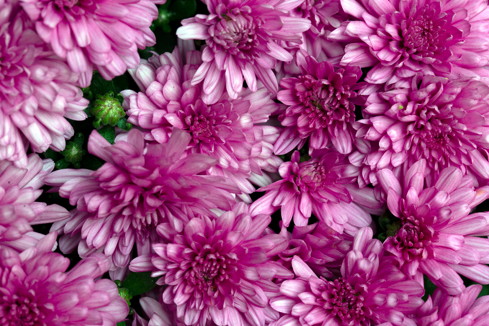 flowers background petals close up floral beauty fresh delicate blooming plant nature color texture pink
