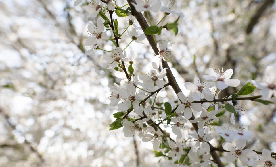 flower bloom blossom white tree plant nature bokeh blur