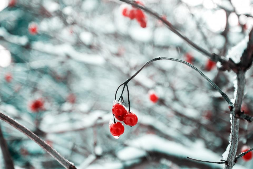 cherry red fruit food sweets dessert branches plant snow winter cold
