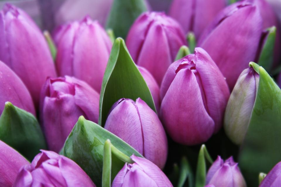 flowers nature blossoms branches bed field stems stalk purple petals yellow bokeh outdoors garden tulips