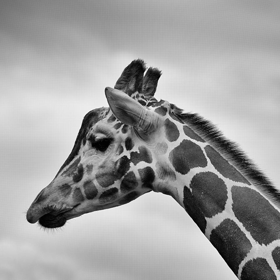 giraffe animals spots black and white