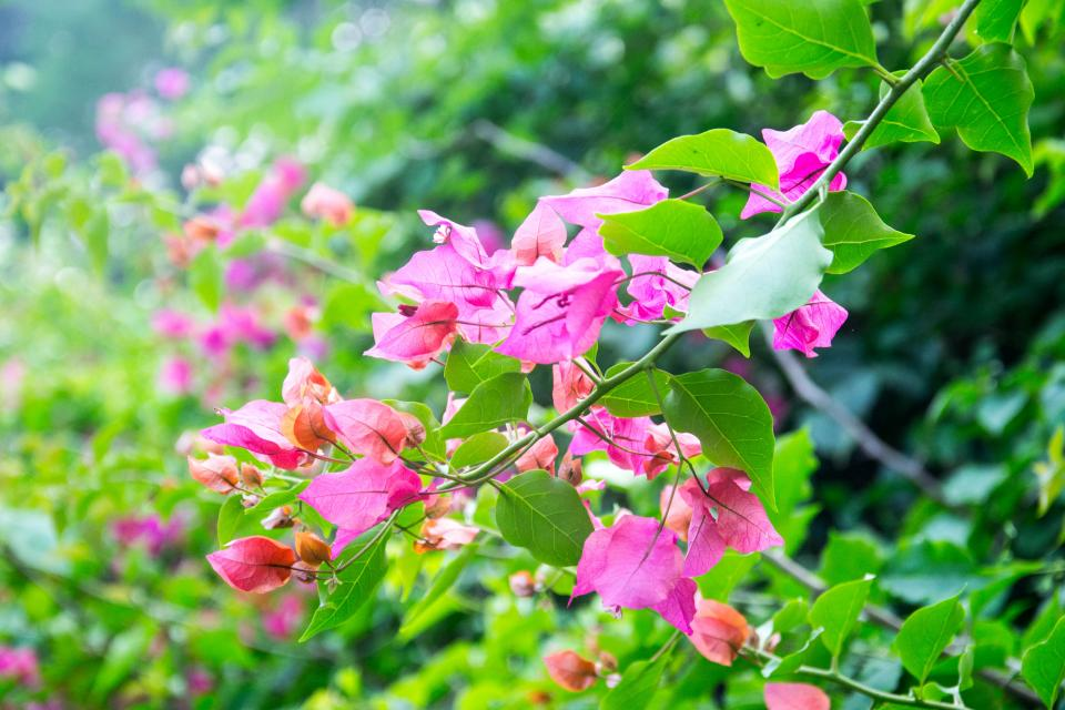 flower leaf Bougainvillea glabra green plant nature