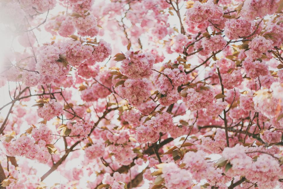 pink blossoms flowers trees branches beauty nature