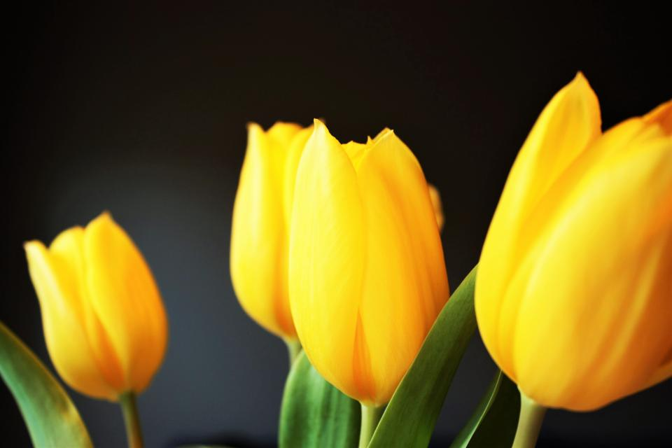 yellow petal flower bloom nature plant tulip