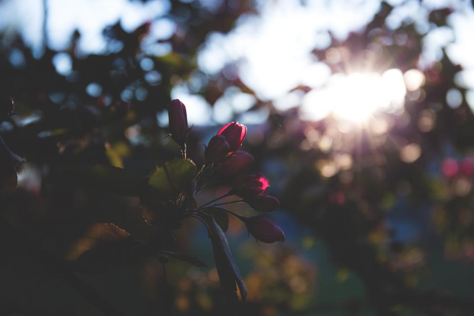 flowers nature blossoms leaves trees red petals buds macro outdoors sun peek still bokeh