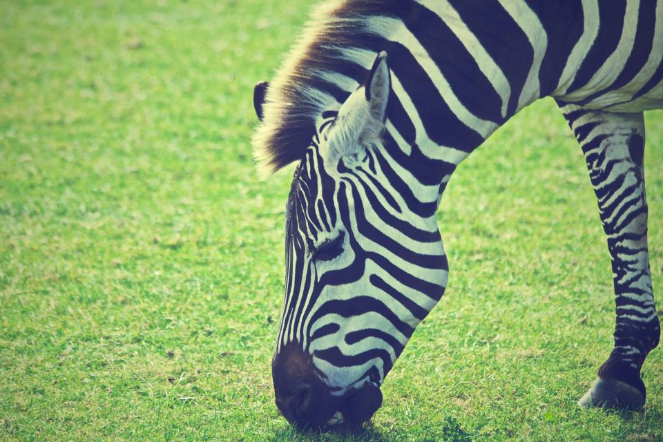 zebra animal mane grass eating
