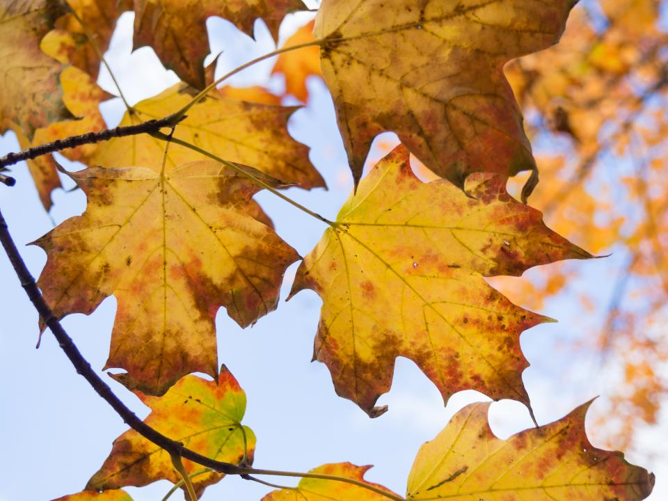 leaves maple leaf fall autumn nature outdoors trees branches sky