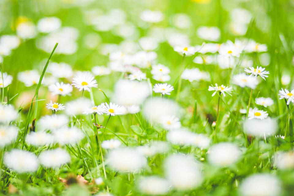 flowers nature blossoms branches bed field stems stalk petals grass white bokeh outdoors garden