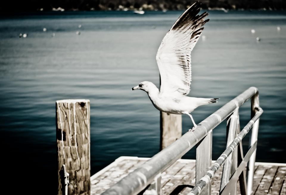 seagull animal bird wings beak railing wood post dock water