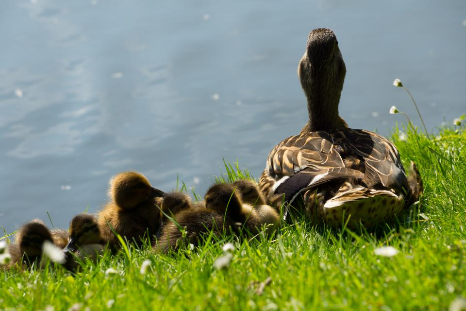 ducks ducklings birds grass water tail