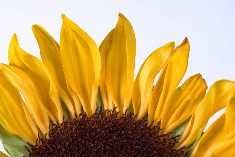 sunflower petals macro closeup flower yellow botanical color bloom plant fresh nature spring summer sun flora