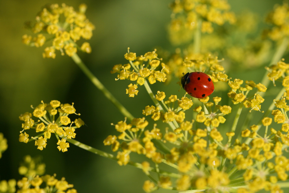 ladybug close up nature bug macro insect wildlife beetle plant small red environment wallpaper goldenrod yellow flowers