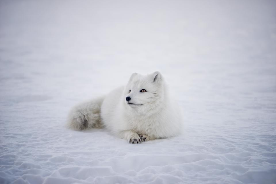 white fox animal wildlife snow winter outdoor nature