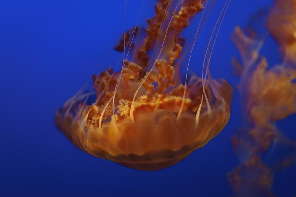jellyfish aquatic animal ocean underwater blue water